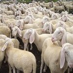 pecore tosate